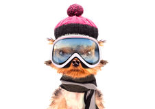 Dog  dressed as skier Stock Photography