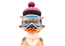 Dog  dressed as skier Royalty Free Stock Photography