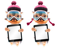Dog dressed as skier with tablet pc. Dog dressed as skier isolated holding a blank tablet pc royalty free stock photography