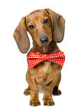 Dog Dressed Bow Tie, Portrait Dackel, Bow-Tie Animal Clothes. Dog Dressed Bow Tie, Portrait of Dackel with Bow-Tie, Animal Clothes Wearing Idea Stock Photos
