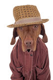 Dog dressed casually royalty free stock photo