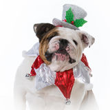 Dog dressed for christmas Royalty Free Stock Image