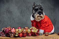 A dog dressed in Christmas dress on a wooden box with Xmas garla Royalty Free Stock Image