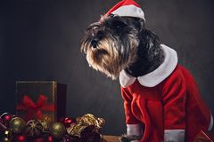 A dog dressed in Christmas dress on a wooden box with Xmas garla Royalty Free Stock Photo