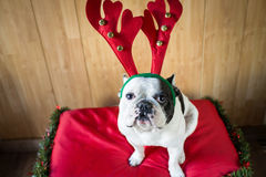 Dog dressed for Christmas Stock Photos