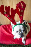 Dog dressed for Christmas Royalty Free Stock Photography