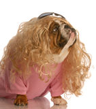 Dog dressed in drag. English bulldog dressed up as a beautiful blonde woman Stock Images