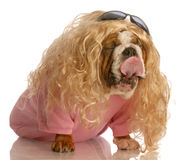 Dog dressed in drag Royalty Free Stock Photos