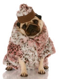 Dog dressed in fur coat and hat. Pug wearing leopard print fur coat and hat on white background stock images