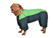 Dog dressed with green raincoat Royalty Free Stock Photo