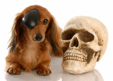 Dog dressed for halloween Stock Photo