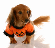 Dog dressed for halloween stock image