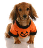 Dog dressed for halloween Royalty Free Stock Image