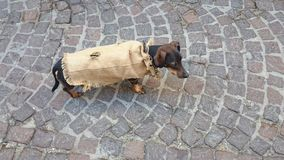 Dog dressed with jute. On the cobbled road Stock Photography