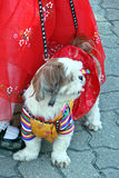 Dog dressed with Korean traditional outfit Stock Photos