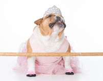 Dog dressed like a ballerina Royalty Free Stock Photos