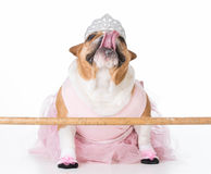 dog dressed like a ballerina Royalty Free Stock Image