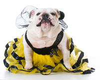 Dog dressed like a bee Stock Photos