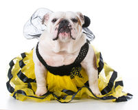 Dog dressed like a bee Royalty Free Stock Photography