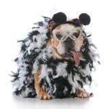 Dog dressed like a bird. Senior female bulldog dressed like a bird on white background Royalty Free Stock Photos