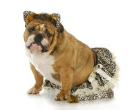 Dog dressed like a cat Royalty Free Stock Images