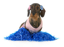 Dog dressed like cheerleader Stock Images