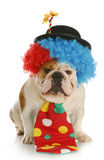Dog dressed like a clown. Clown - english bulldog wearing clown costume on white background Royalty Free Stock Photo