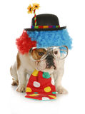 Dog dressed like a clown. Clown - english bulldog wearing clown costume with glasses on white background Stock Image