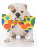 Dog dressed like a clown Stock Photos