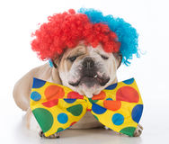 Dog dressed like a clown Stock Photography