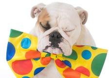 Dog dressed like a clown Stock Image