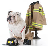 Dog dressed like a firefighter Stock Image