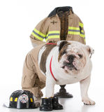 Dog dressed like a firefighter Stock Photography