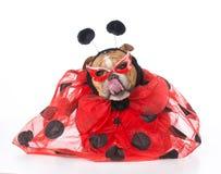 Dog dressed like a ladybug Royalty Free Stock Images
