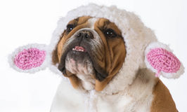 Dog dressed like a lamb Stock Photo