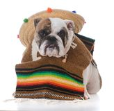 Dog dressed like a mexican. Bulldog dressed up like a mexican on white background Royalty Free Stock Photography