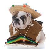 Dog dressed like a mexican. Bulldog dressed up like a mexican on white background Stock Image