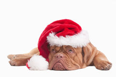 Dog dressed like Santa Stock Photo
