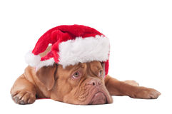 Dog dressed like Santa Stock Image