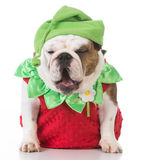 dog dressed like a strawberry Stock Image