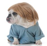 Dog dressed like a veterinarian. Dog dressed up like a veterinarian isolated on white background Royalty Free Stock Photo