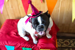 Dog dressed for party Royalty Free Stock Image