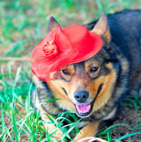 Dog dressed red hat Royalty Free Stock Images