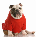Dog dressed in red shirt Stock Photo