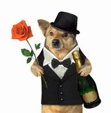 Dog in a suit holds wine and a rose stock photos
