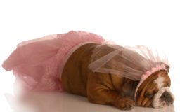 Dog dressed in a tutu Royalty Free Stock Photography