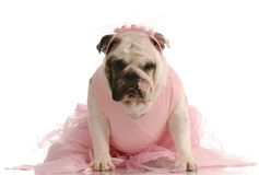 Dog dressed in a tutu Stock Images