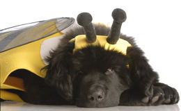 Dog dressed up as a bee. Newfoundland puppy dressed up like a bee - twelve weeks old Stock Photo