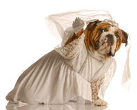 Dog dressed up as bride Stock Photography