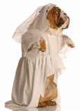 Dog dressed up as a bride Royalty Free Stock Photography